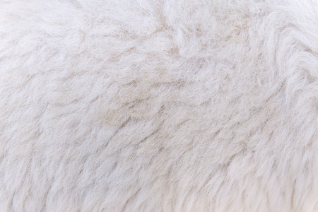 woolly sheep fleece for background and design.