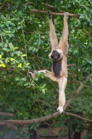 White Cheeked Gibbon cute monkey on tree.