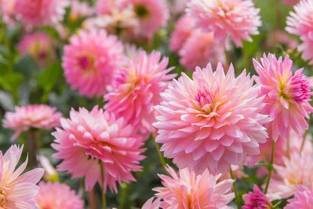美しい庭のダリア ピンク花のカラフルです。