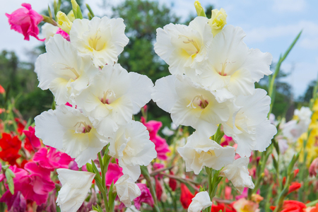 Bunch of colorful Gladiolus flowers in beautiful garden.