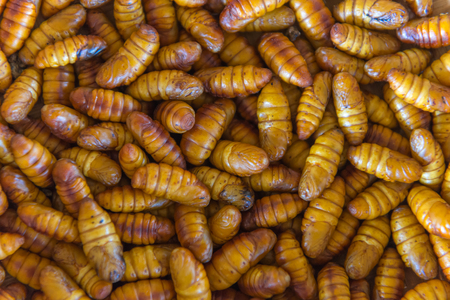 sericulture: chrysalis silkworm. This is a source of silk thread and silk fabric.