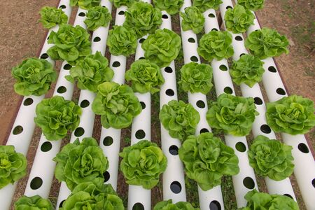 conservatory: Organic hydroponic vegetable in the cultivation farm.
