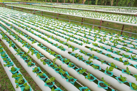 Organic hydroponic vegetable in the cultivation farm.