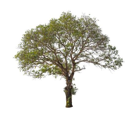 arboles frondosos: árbol en verano aislado sobre fondo blanco Foto de archivo
