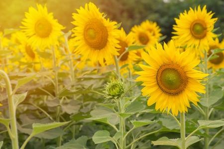 sunflower seeds: beautiful of Sunflower blooming in Sunflowers garden.