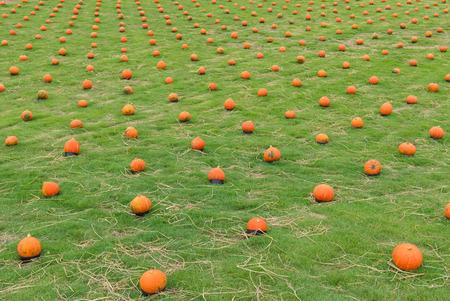 pumpkin on green grass in the cultivation farm.