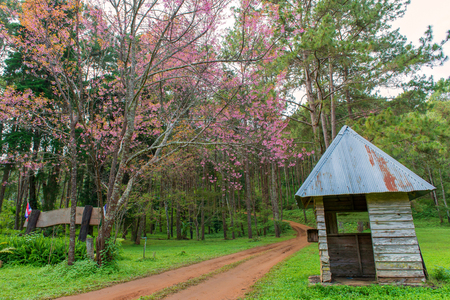 hut and with pink cherry or Thai sakura blooming during winter at Chiang Mai Thailand.