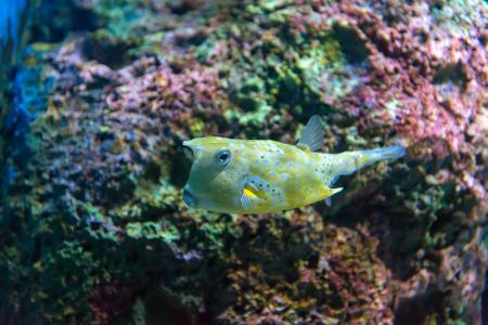false percula clownfish: White-spotted puffer (Arothron hispidus). Marine fish in blue water.