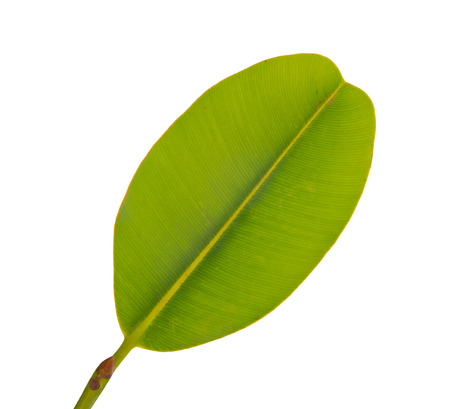 huge tree: banana leaf isolated on a white background. Stock Photo