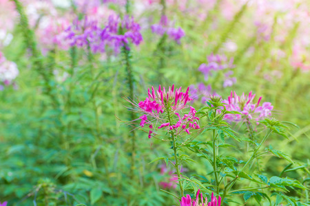 Cleome flower (Cleome hassleriana) or spider flower in beautiful garden. Stock Photo