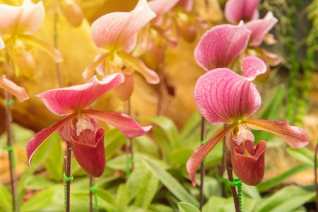 colorful of ladys slipper orchid in Beautiful garden. (Paphiopedilum Callosum) Stock Photo