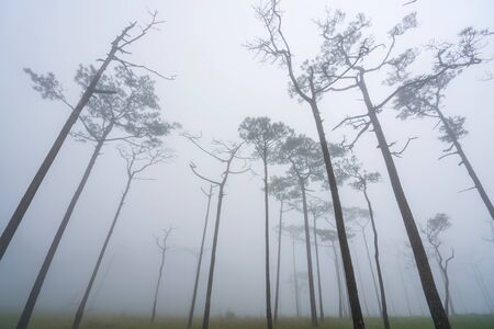 Landscape pine tree forest in the mist at Phu Soi Dao national park Uttaradit province Thailand. Reklamní fotografie