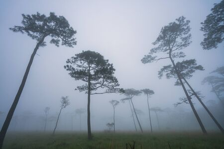 Landscape pine tree forest in the mist at Phu Soi Dao national park Uttaradit province Thailand.