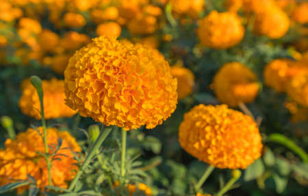 beautiful of marigold flower in beautiful garden. Standard-Bild