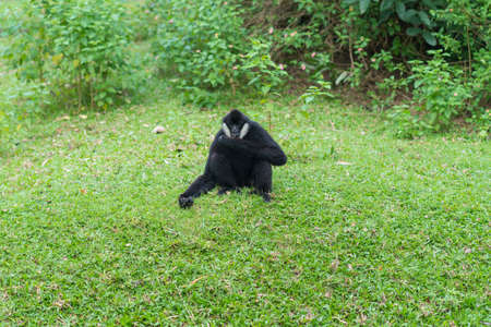 White cheeked gibbon or Lar gibbon sit and relax on the grass at open zoo. Standard-Bild