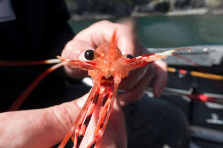 Front View Fisherman Holding Spot Prawn on Fishing Boat