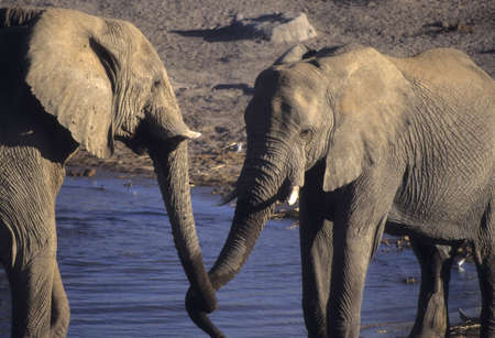 herbivore: Young elephants sparring at a water hole,  Etosha Namibia, Africa Stock Photo