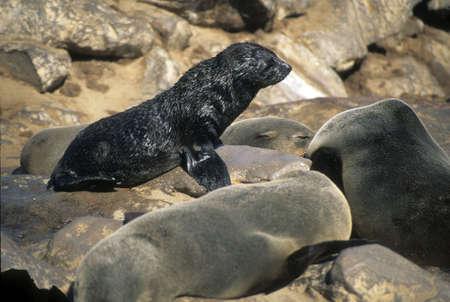pinniped:  seal calf sunning itself, Cape Cross   Namibia, Africa
