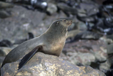 pinniped: Female seal sunning herself,  Cape Cross   Namibia, Africa