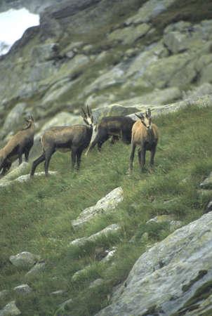 Chamois herd, High Tatras[Rupicapra rupicapra] Mountains,Czechoslovakia, Slovakia 版權商用圖片