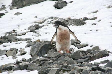 Adelie penguin choosing a rock to carry back to its nest,  [Pygoscelis adeliae] Argentine Base Esperanza, Antarctica