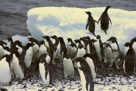 Flock of Adelie penguins, walking along the shoreline, [Pygoscelis adeliae] Brown Bluff, Antarctica