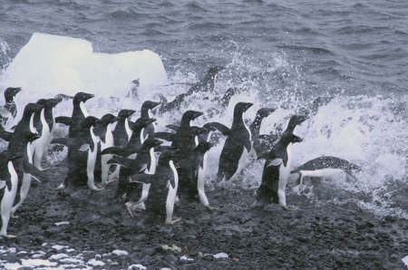 Adelie penguins, jumping into the ocean, [Pygoscelis adeliae] Brown Bluff, Antarctica photo