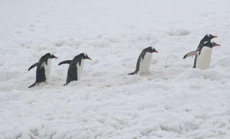 5 gentoo penguins, heading back to theiur nests, [Pygoscelis papua] Cuverville Island, Antarctica 版權商用圖片