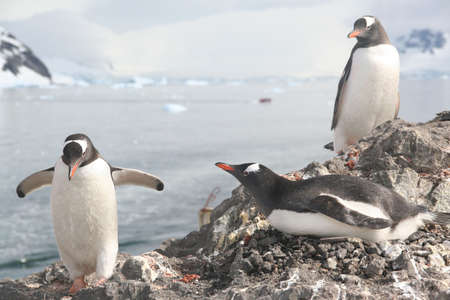 Gentoo penguin, greeting its mate on nest, [Pygoscelis papua], Almirante Brown, Antarctica