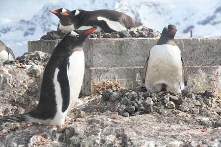 Gentoo penguin, greeting its mate on nest; egg in nest, [Pygoscelis papua], Almirante Brown, Antarctica Stock Photo