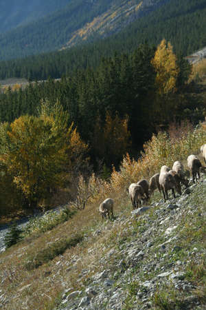 Mountain sheep,David Thompson Parkway,Canadian Rockies,Banff,Jasper,Alberta, Canada