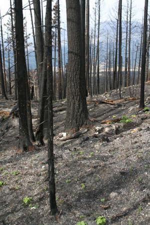 forest fire: Incendios forestales secuelas - mosquetones de abetos, �lamos [St marys fuego, la primavera de 2006, 4 meses m�s tarde] Parque Nacional Glacier, Montana
