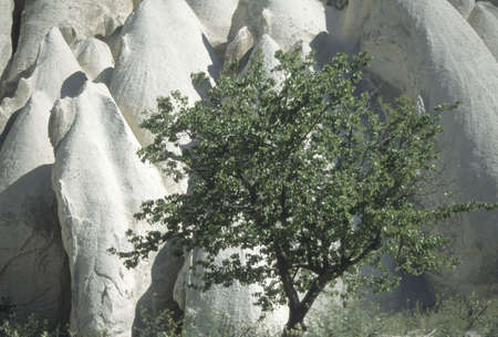 Almond tree and rock formations, Kizilculur canyons  Cappadocia,  Turkey