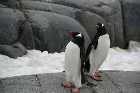 Pair of gentoo penguins, [Pygoscelis papua], Port Lockerby, Antarctica Stock Photo