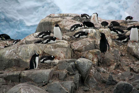 Gentoo penguin rookery; nesting penguins with glacier icefall in background, [Pygoscelis papua], Port Lockerby, Antarctica