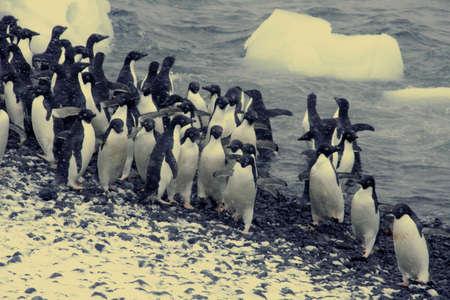 Adelie pinguins, springen in de oceaan, [Pygoscelis adeliae] Brown Bluff, Antarctica Stockfoto