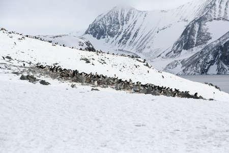 Adelie pinguin roekenkolonie met bergen op de achtergrond,, [Pygoscelis adeliae] Argentijnse Base Esperanza, Antarctica
