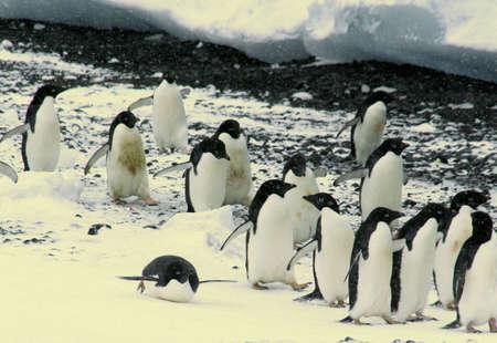Koppel van Adelie pinguins, wandelen langs de kustlijn, [Pygoscelis adeliae] Brown Bluff, Antarctica