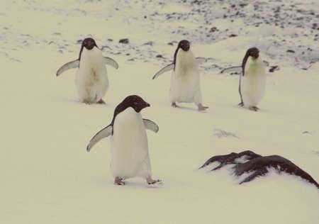 Vier Adelie pinguins, wandelen langs de kustlijn, [Pygoscelis adeliae] Brown Bluff, Antarctica