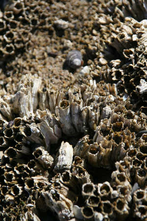 barnacles: Abstract, mussels and barnacles at low tide, Agate Beach,  Newport,  Oregon coast Stock Photo