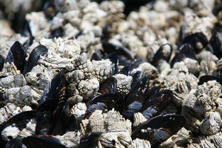 barnacles: Astratto, Barnacles con la bassa marea, Agate Beach, Newport, Oregon costa