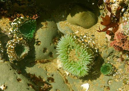 alga marina: Piscina de la marea: an�monas de mar y quelpo, costa de Oregon