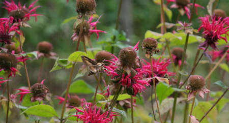 Sphinx moth [hawk moth] with wings in motion,  on Bee Balm  Adamant Vermont