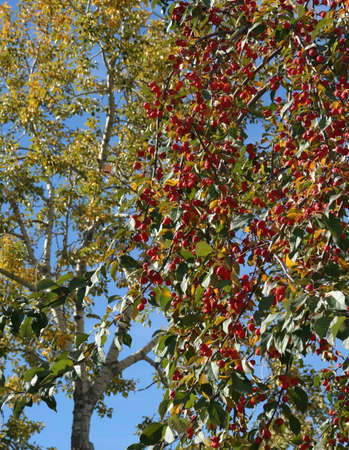 canmore: Red berries in tree, aspen in  background, blue sky, Canadian Rockies,Kananaskis, Canmore, Banff, Alberta, Canada