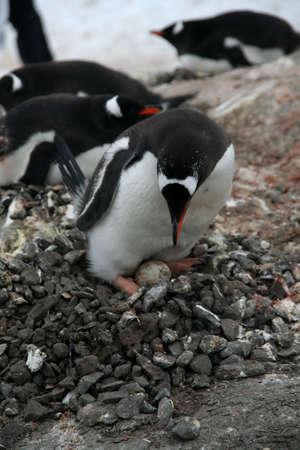 Penguin guarding her nest and egg, [Pygoscelis papua], Port Lockerby, Antarctica Stock Photo