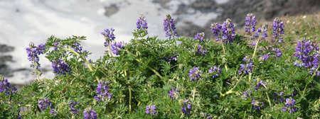 lupine: Lupine,  Cape Perpetua, Oregon coast Stock Photo