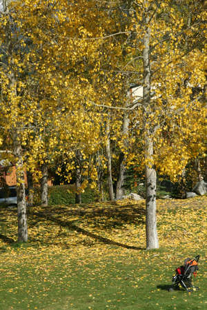 canmore: Aspen in park,  stroller Canadian Rockies,Kananaskis, Canmore, Banff, Alberta, Canada