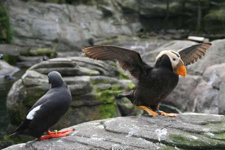 tufted puffin: Tufted puffin, and Pigeon Guillemot [Lunda cirrhata], [Cepphus columba] Aquarium, Newport,  Oregon coast