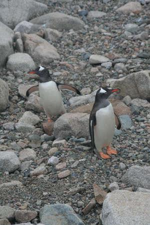 Gentoo penguins on rocky beach, [Pygoscelis papua] Neko Harbor, Antarctica 版權商用圖片