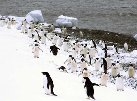 Flock of Adelie penguins, walking along the shoreline, [Pygoscelis adeliae] Brown Bluff, Antarctica
